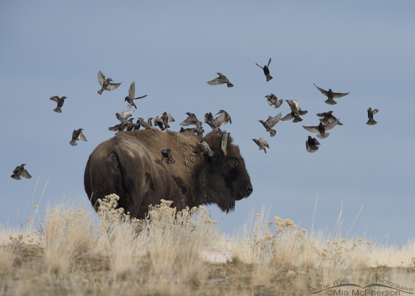 A flock of European Starlings landing on the back of a Bison