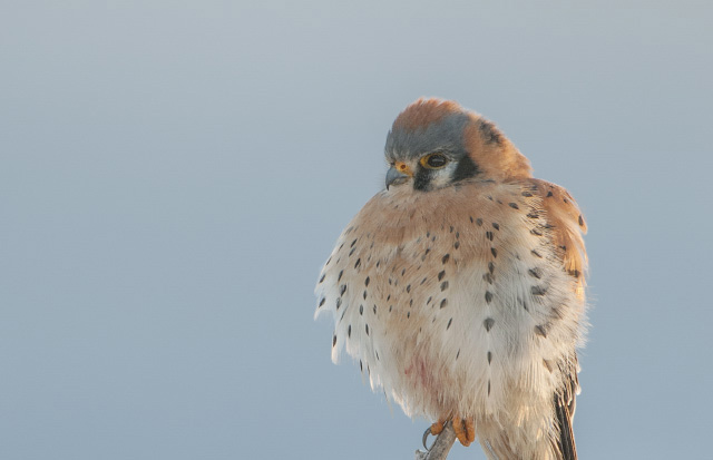 A male American Kestrel fluffed up on a cold Utah morning
