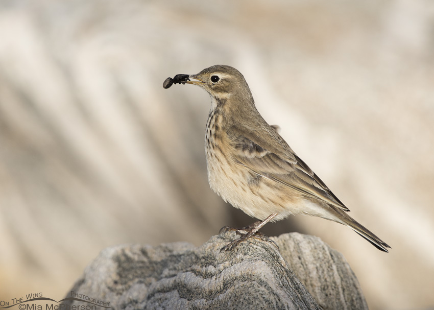 An American Pipit with a spider