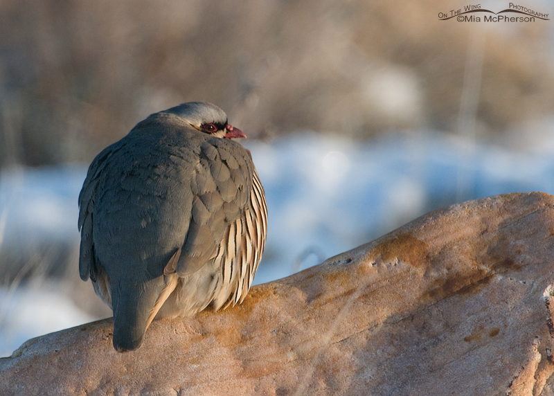 Chukar warming up in the morning light