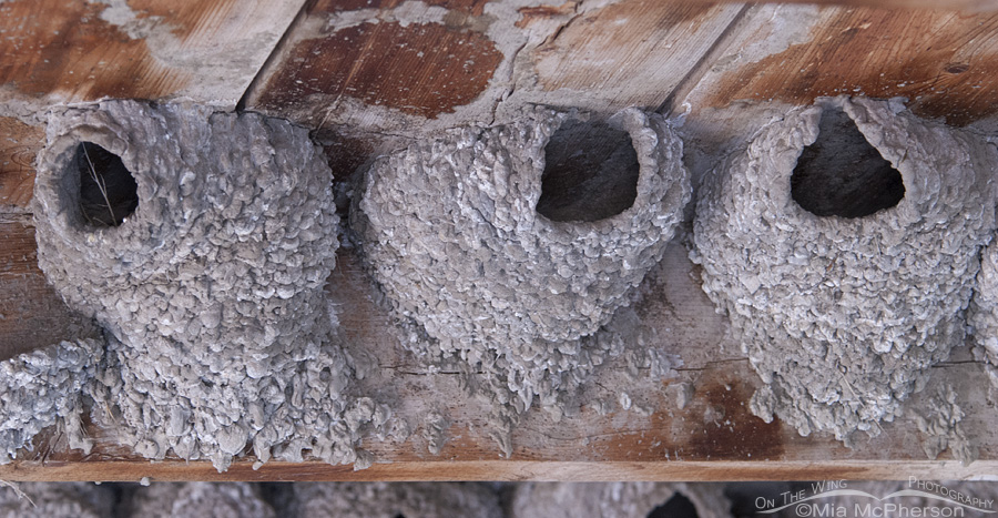 Cliff Swallow nests in northern Montana