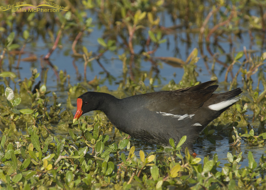 Common Gallinule Images