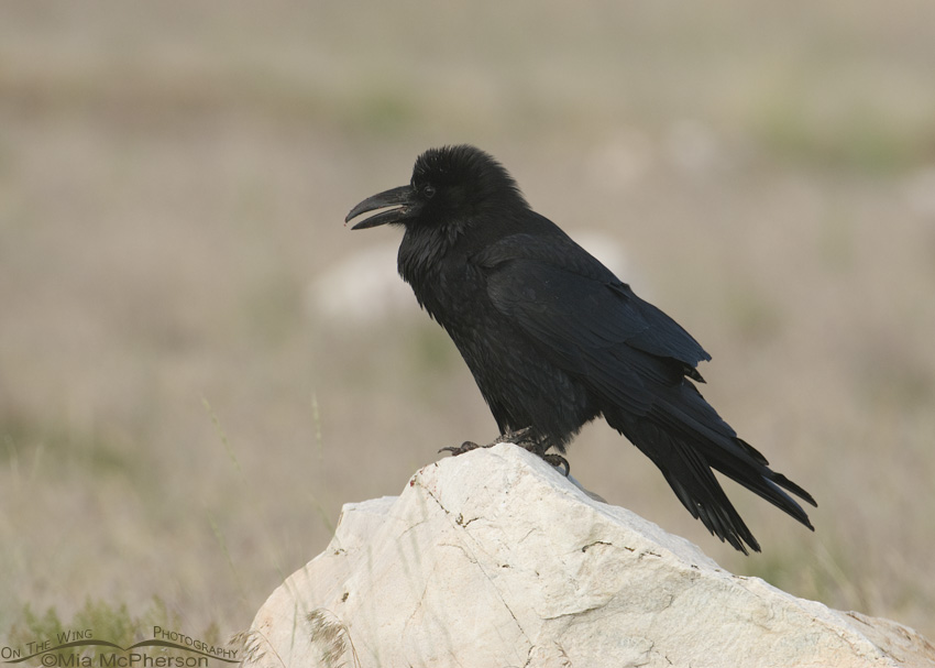 Common Raven in low light