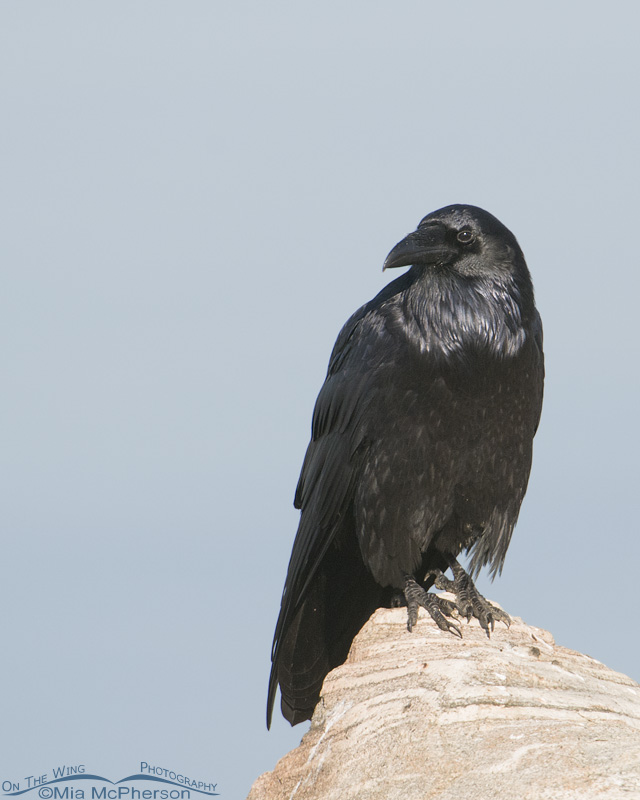 A Common Raven perched on a boulder