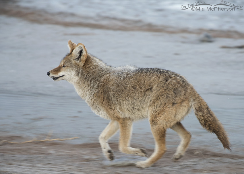 Coyote on the causeway in low light