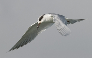 An elegant Forster's Tern in flight