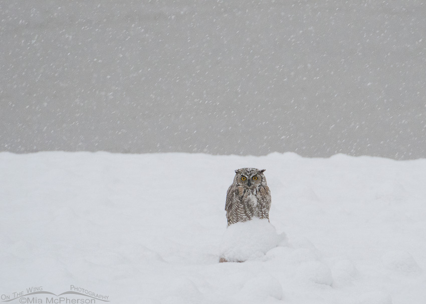 Great Horned Owl in a blizzard