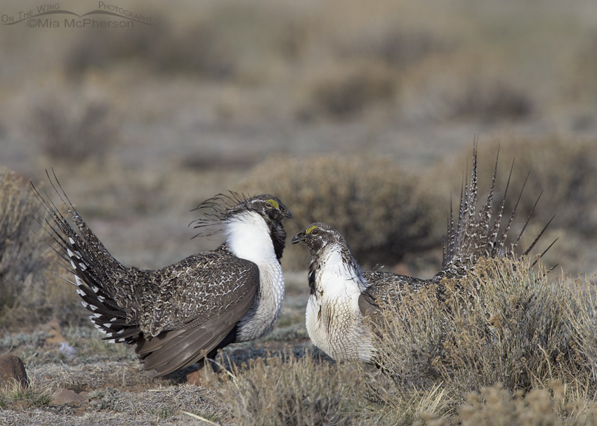Sparring male Greater Sage-Grouse