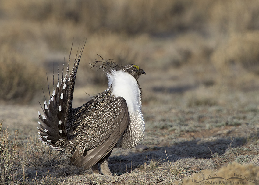 Male Greater Sage-Grouse on a lek in Utah