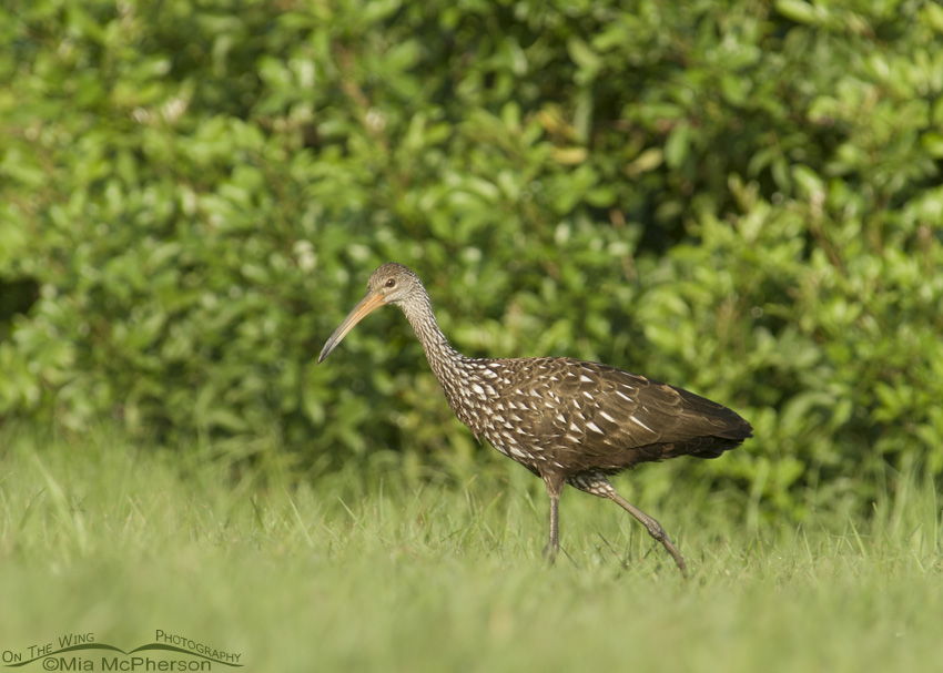 A Limpkin walking in the grass
