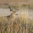 A Mule Deer buck in morning light