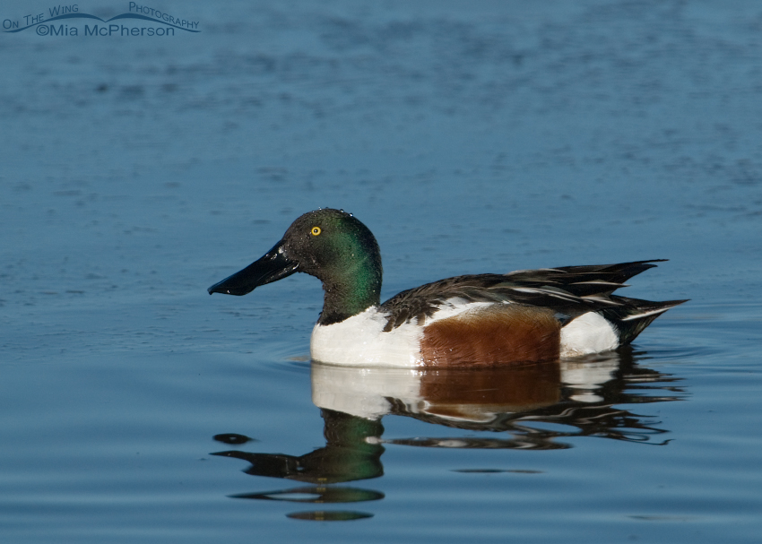 Adult male Northern Shoveler at Farmington Bay