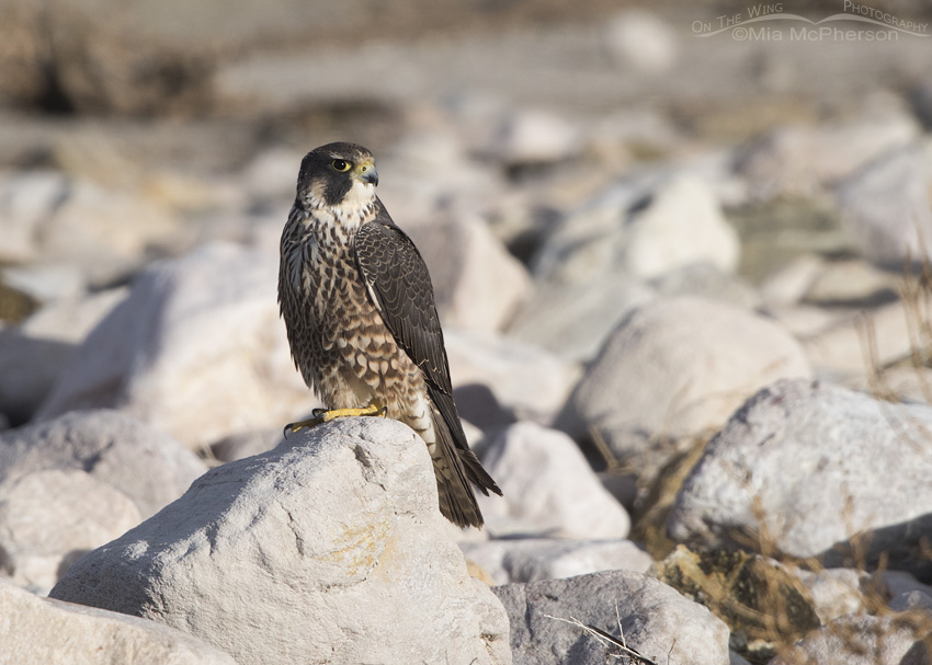 Peregrine Falcon Images