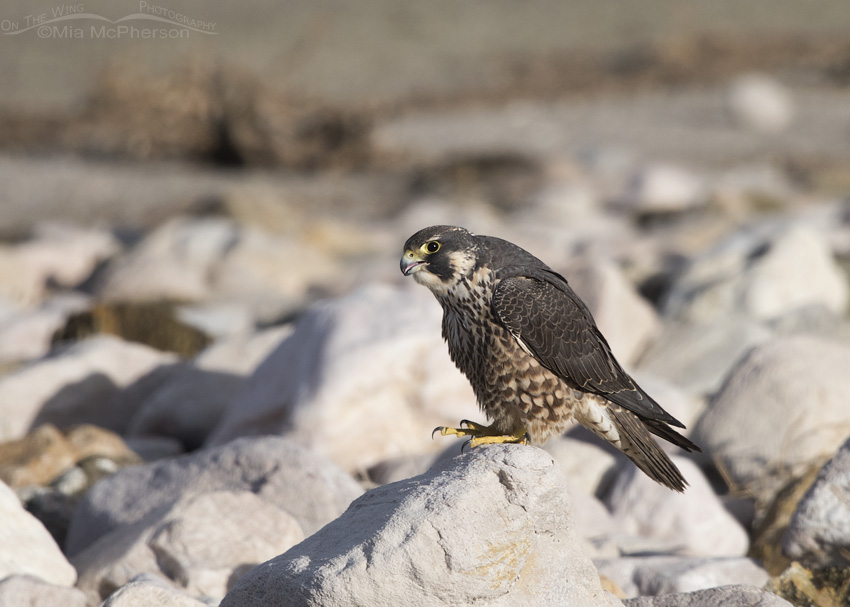 An immature Peregrine Falcon with an open bill