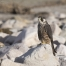 A hatch year Peregrine Falcon on the rocks