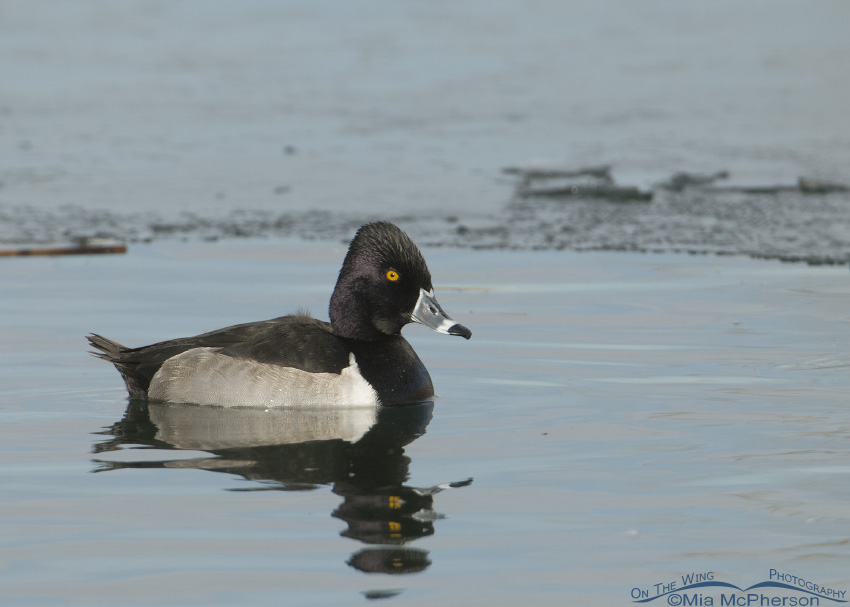 Ring-necked Duck on pastel water & ice