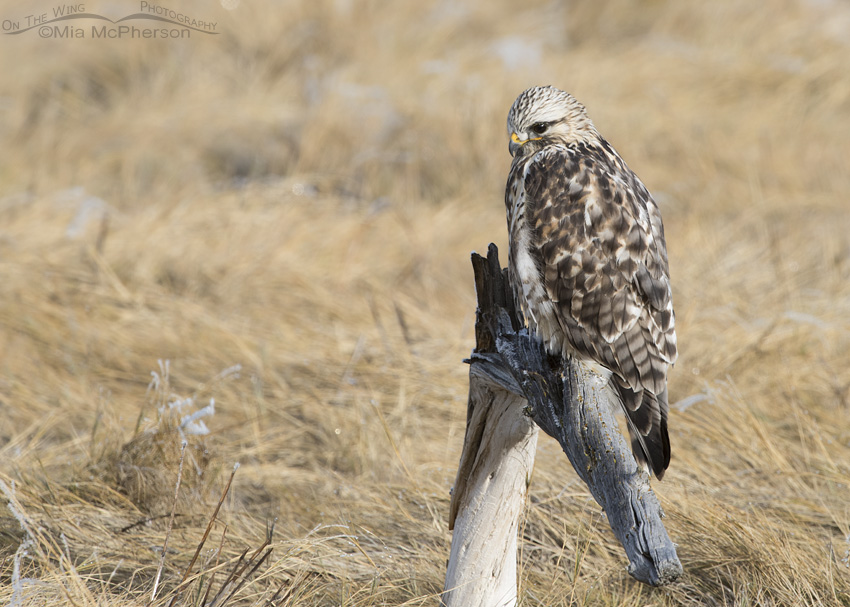 A male Rough-legged Hawk looking down at the marsh