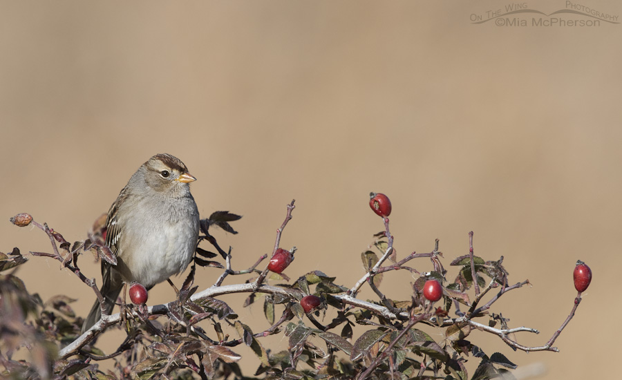 Wild Rose hips and an Immature White-crowned Sparrow