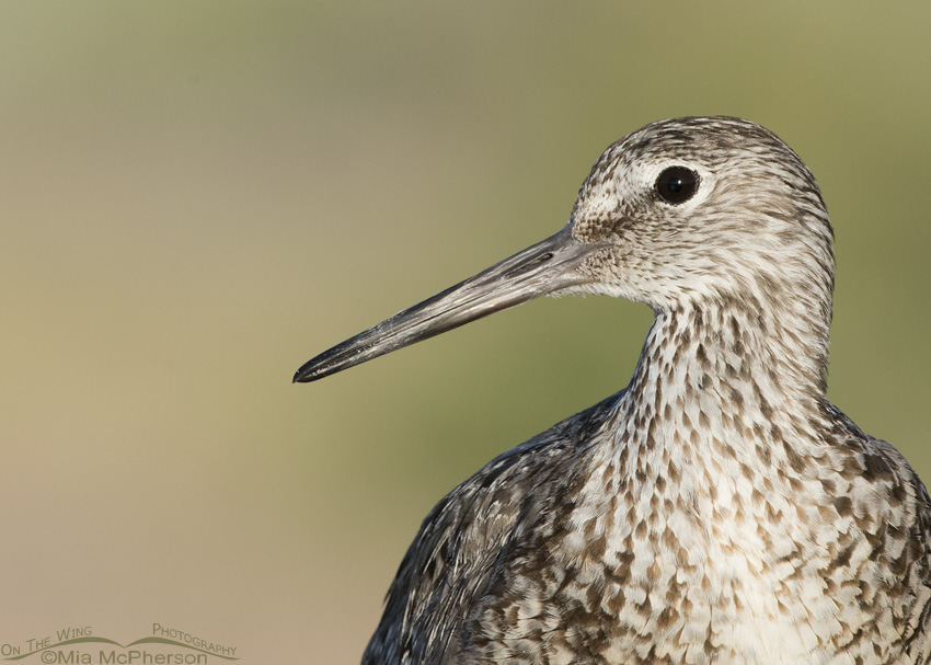 Portrait of a Western Willet