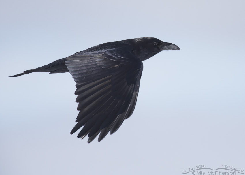 Common Raven in flight on a winter day