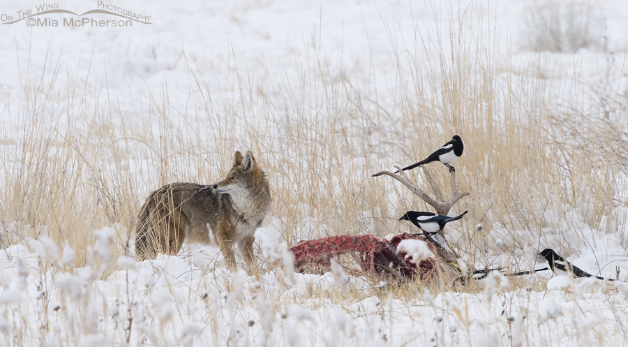 A Coyote and Black-billed Magpies scavenging