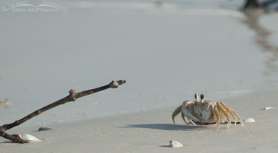 A Ghost Crab at the water's edge