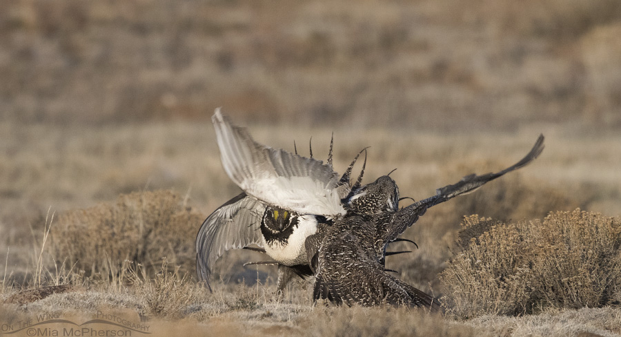 Greater Sage-Grouse battling on a lek