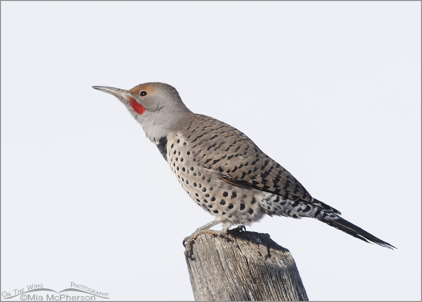 High Key Northern Flicker