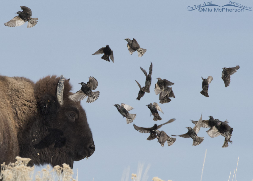 Close up of a Bison and European Starlings