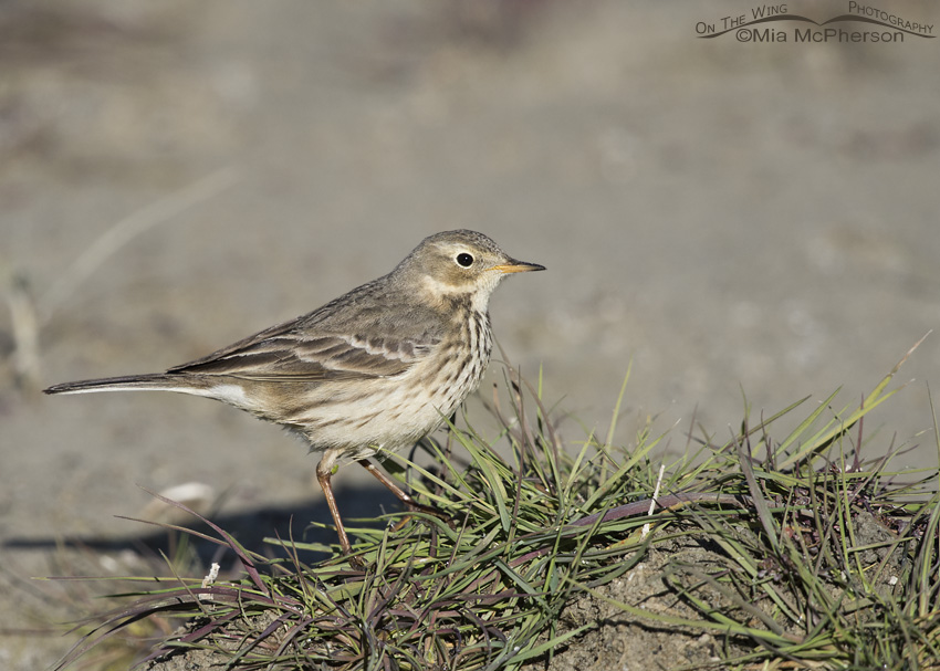 An American Pipit on a tuft of grass