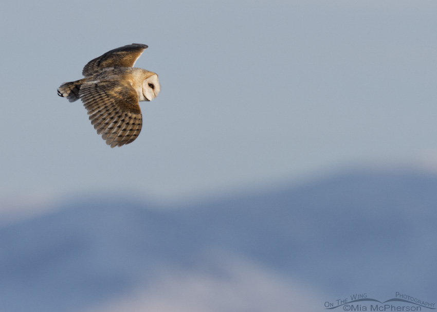 A Barn Owl in flight over the Bear River