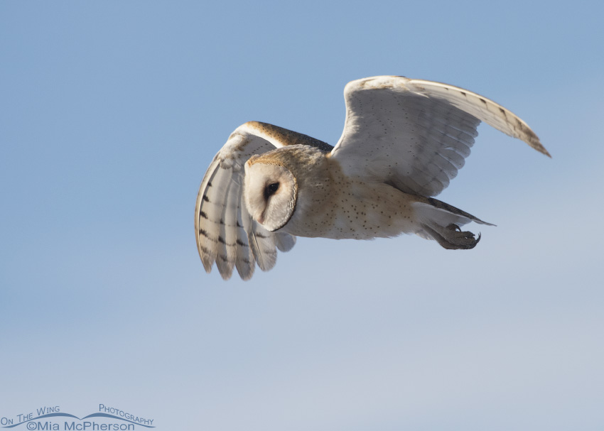 A cold morning and a Barn Owl in flight