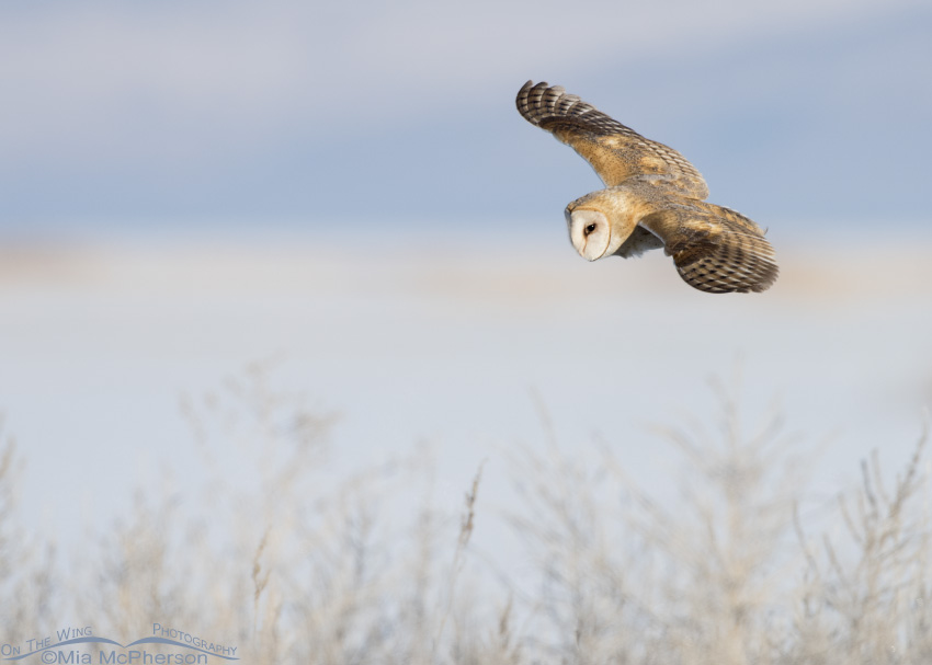 Barn Owl hunting near the Bear River