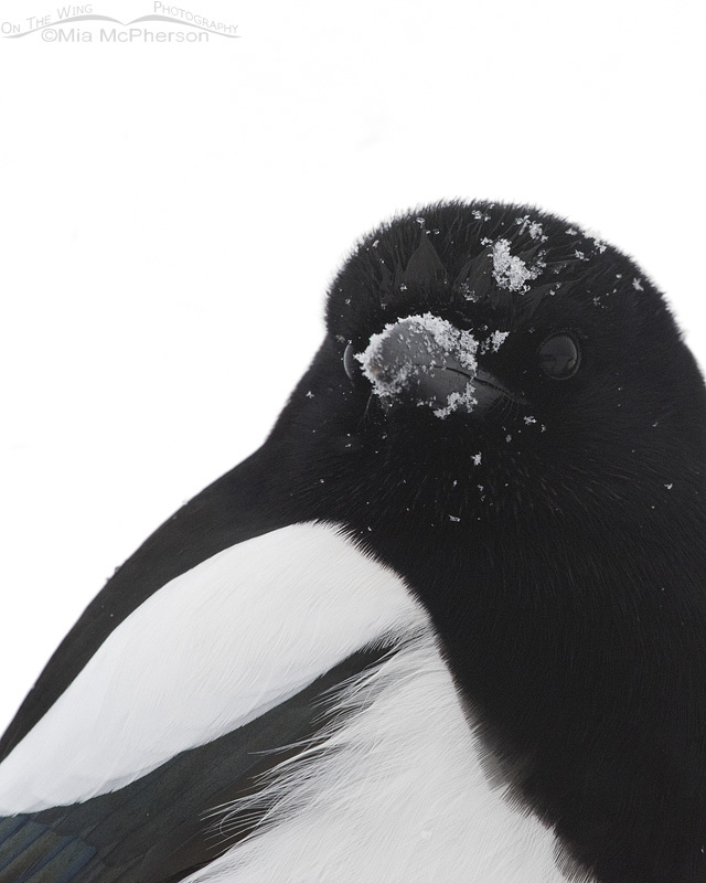 Portrait of a Black-billed Magpie in a Snowstorm