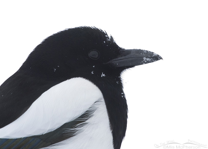 Black-billed Magpie close up in a snowstorm