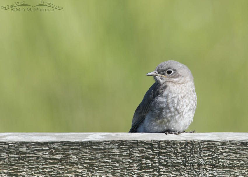 A young Mountain Bluebird chick in Montana