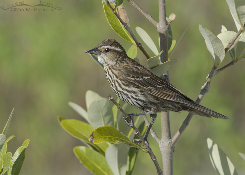 Female Red-winged Blackbird near her nest
