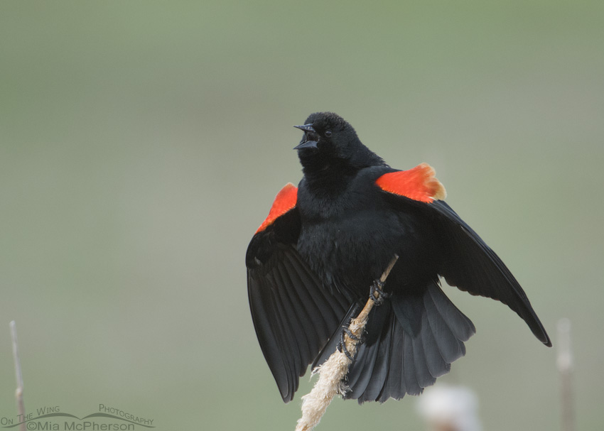 Low light male Red-winged Blackbird singing