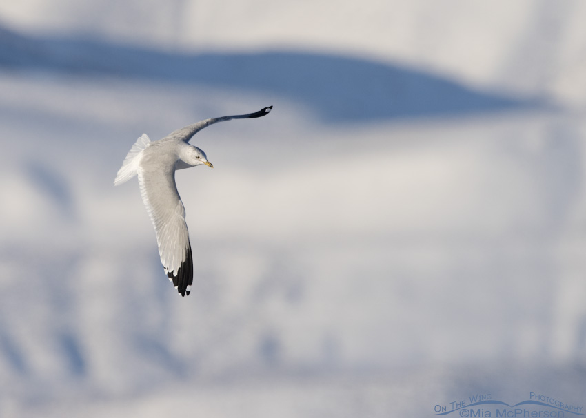 Ring-billed Gull and snow covered mountains
