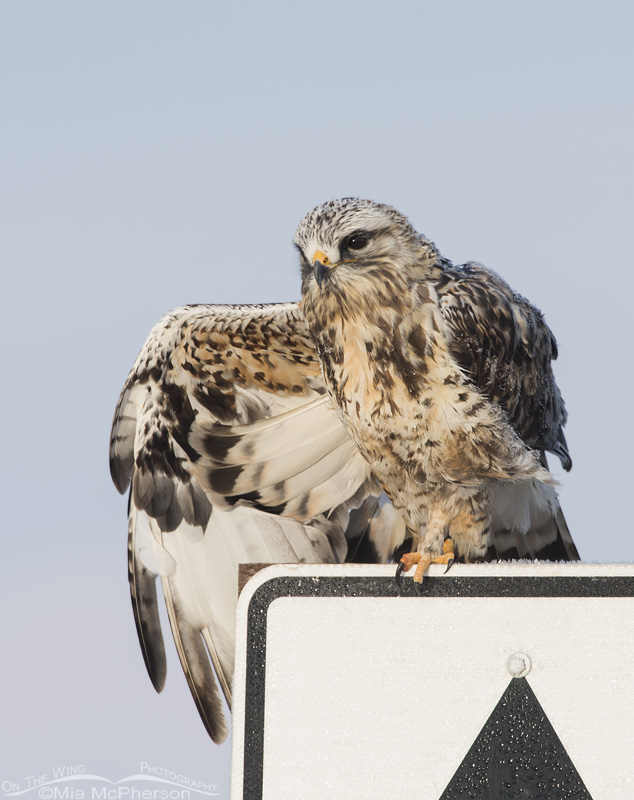 A Rough-legged Hawk on Road Patrol