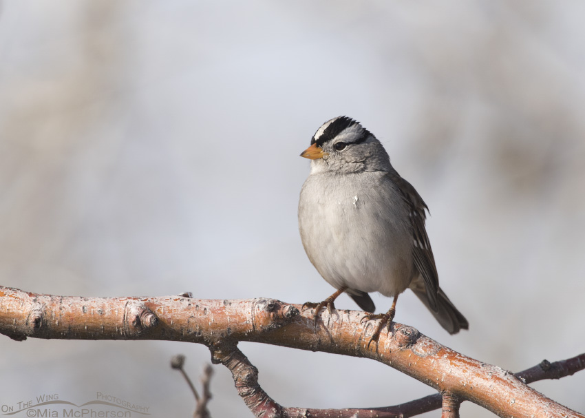 An adult White-crowned Sparrow on a branch