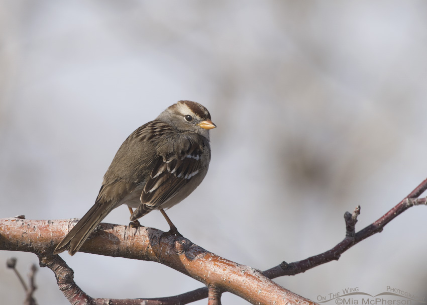A juvenile White-crowned Sparrow on a branch