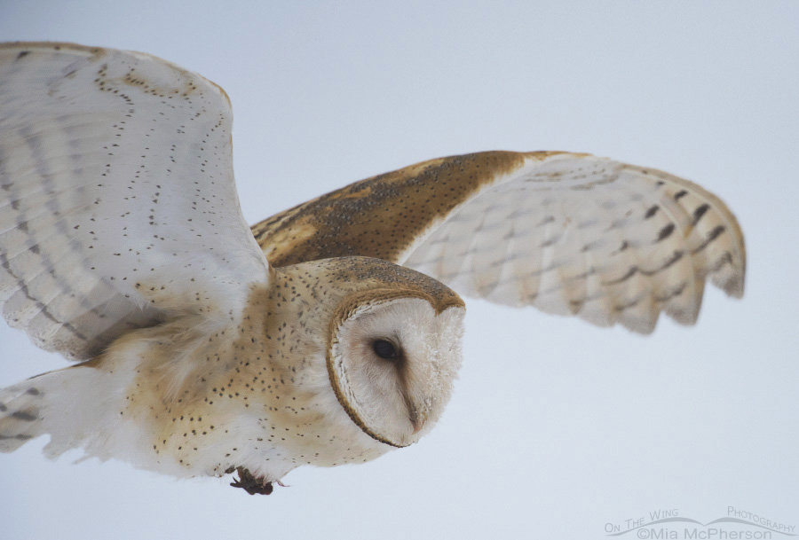 A close up of a Barn Owl on a foggy flight