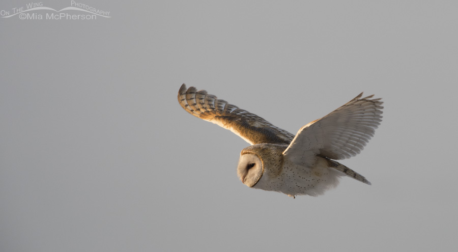 A Barn Owl flying east along the causeway