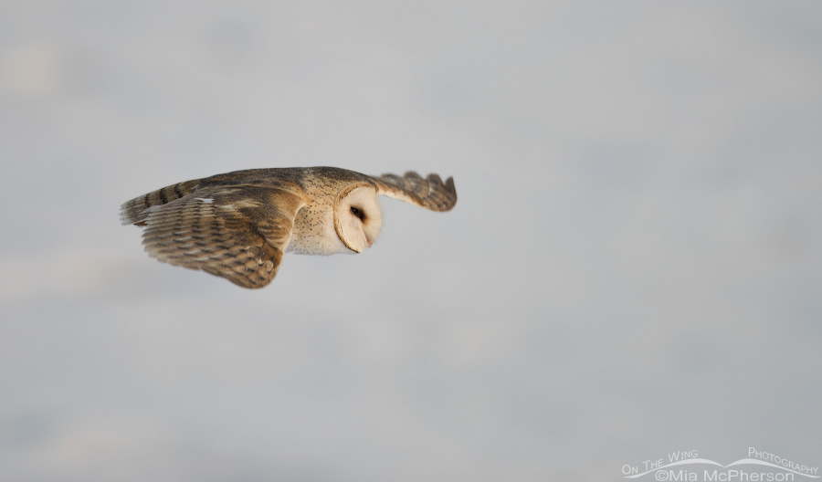 Barn Owl flying over a snow covered mudflat