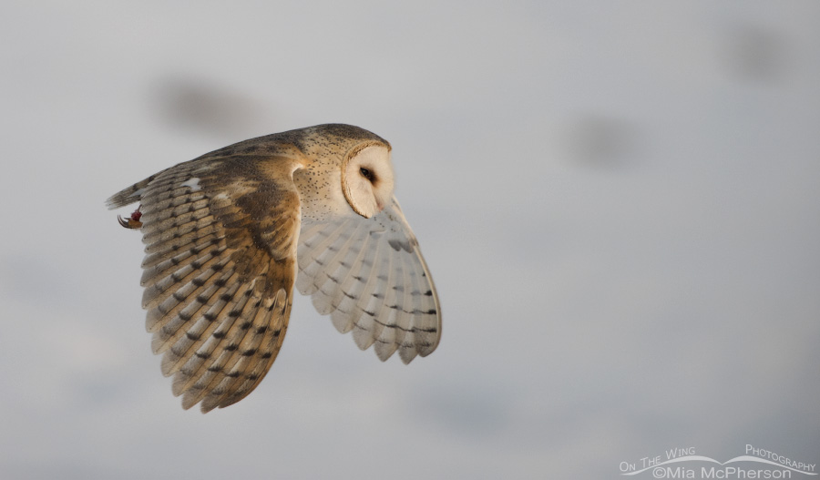 Flying Barn Owl on a February morning