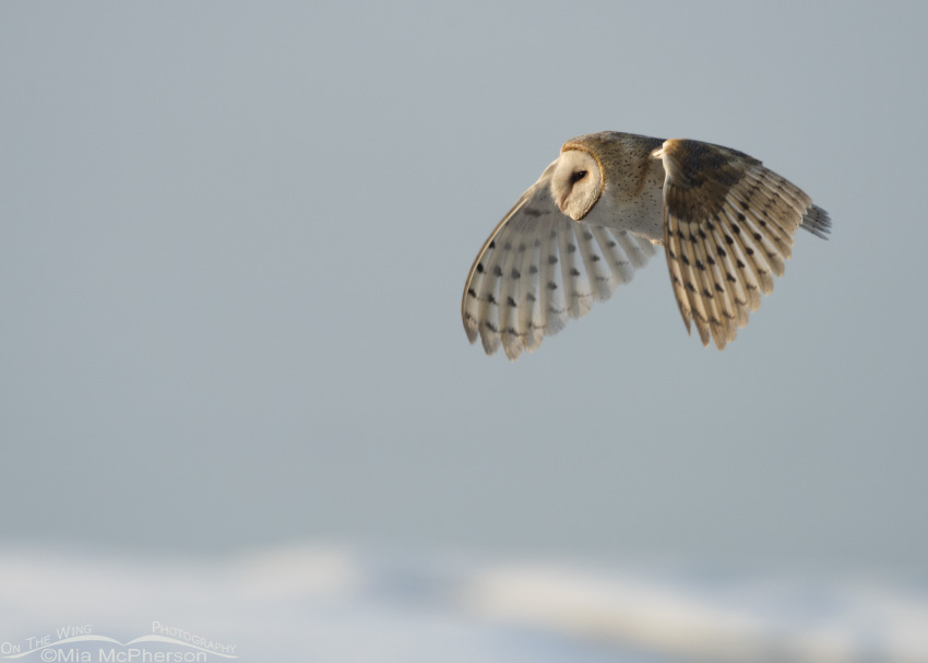 A Barn Owl flying with snow on the ground