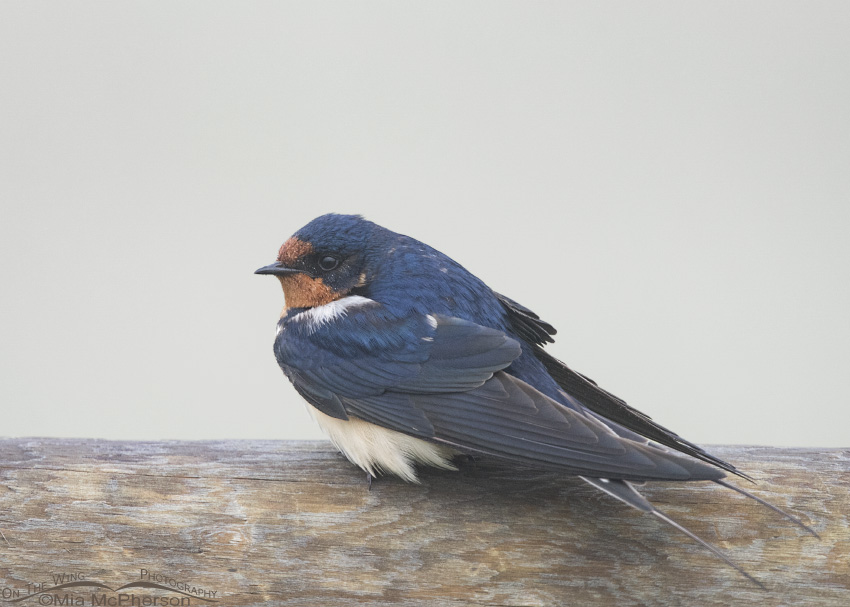 Barn Swallow in a fog