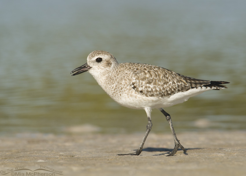 Black-bellied Plover running next to a lagoon