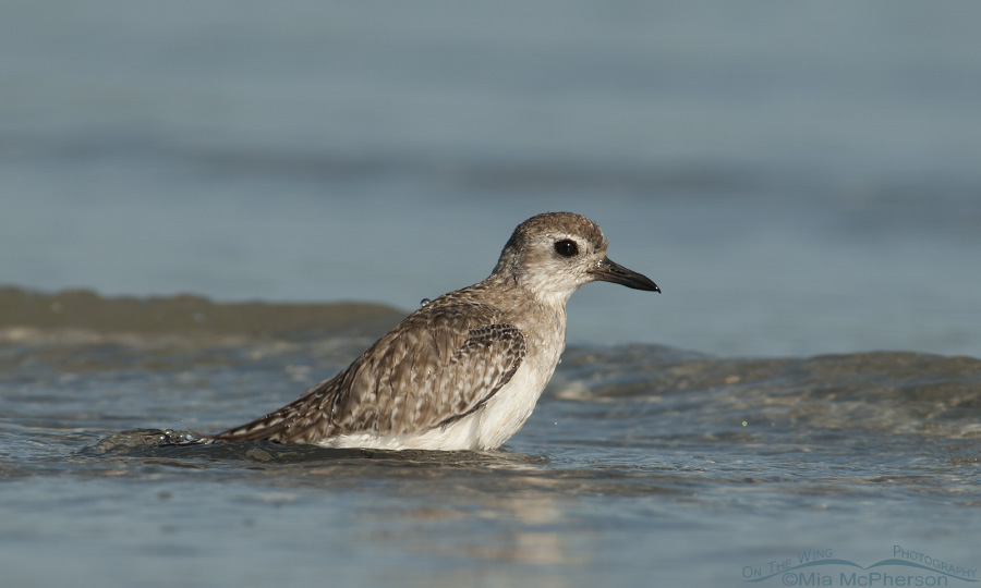Black-bellied Plover bathing in a lagoon